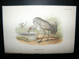 Allen 1890's Antique Bird Print. Common Crane